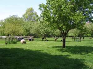 Sheep graze in orchard of 47-acre Queens County Farm Museum in Floral Park, Queens.